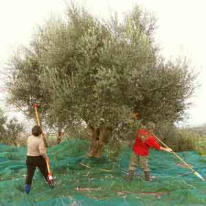 Marc et Evi gaulent leurs olives.