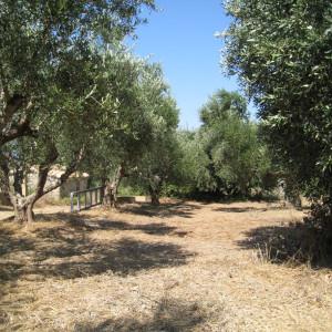 L'oliveraie des TroisTortues en été
