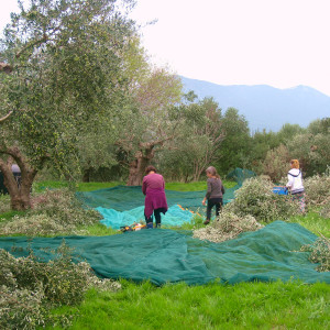Déplacement des filets après gaulage des olives.