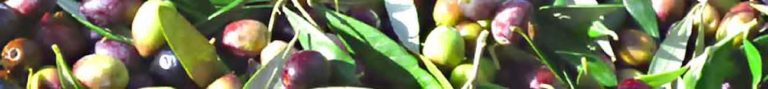 Olives en vrac avant leur départ pour le moulin