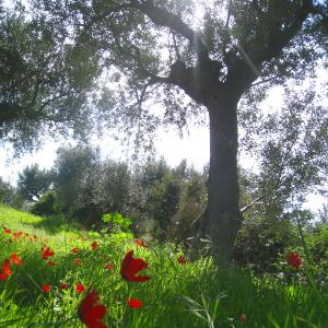 fleur sur oliveraie